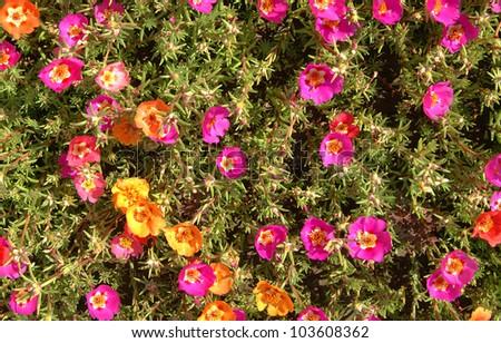 flowers purslane #103608362