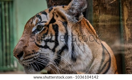 Tiger portrait in Prague Zoo                 #1036104142