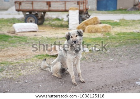 A grey hairy beautiful dog just in front of a  tractor trailer and country houses #1036125118