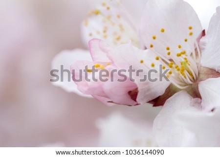 Soft airy  japanese sakura in bloom on pink background. Gentle floral  romantic elegant artistic image