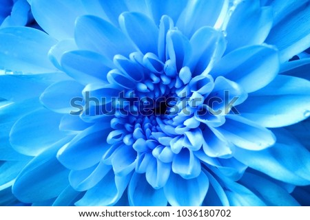 Blue flower, Close up petal of blue Chrysanthemum flowers or blue flowers image use for web design and blue flowers background #1036180702