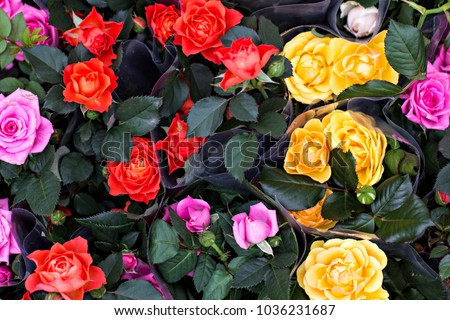 Rose in the flowerpot. Growing roses. Greenhouse with roses, shop for the sale of seedlings of roses. #1036231687