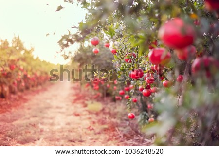 Ripe pomegranate fruits hanging on a tree branch in the garden. Sunset light. soft selective focus, space for text Royalty-Free Stock Photo #1036248520