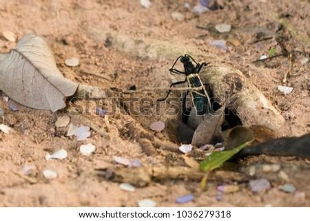 Amazing picture of enormous Tarantula Hawk hunting for tarantulas on sandy soil, walking around.