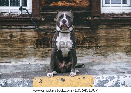 A picture of a pitbull sitting with a leash in Istanbul