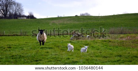 Mount Temple/Ireland - 02.21.2018: Lambs are herding with their mother in county Westmeath in Ireland. #1036480144