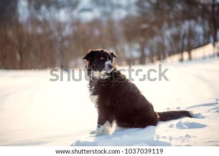 Border Collie dog sitting in snow #1037039119