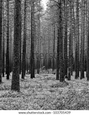 Tree in greyscale shoot on medium format film #103705439