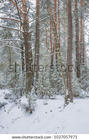 Winter in the Pine Forest. Nature in the vicinity of Pruzhany, Brest region, Belarus. #1037057971