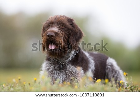 A purebred german wirehaired pointer dog without leash outdoors in the nature on a sunny day. #1037110801