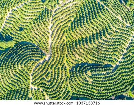 Aerial view of orange tree groves on hills creating organic pattern #1037138716