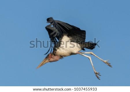 A Marabou Stork in Kenya #1037455933