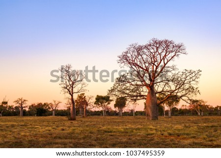 Boab (aka Baobab tree) trees at sunset in the Kimberley town of Derby, Western Australia, Australia. Endemic to Australia, boabs occur in the Kimberley region of Western Australia. #1037495359