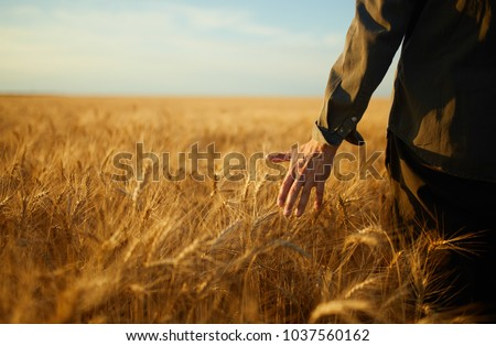 Man With His Back To The Viewer In A Field Of Wheat Touched By The Hand Of Spikes In The Sunset Light. Wheat Sprouts In A Farmer's Hand.Farmer Walking Through Field Checking Wheat Crop.  #1037560162