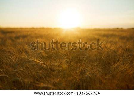 Backdrop Of Ripening Ears Of Yellow Wheat Field On The Sunset Cloudy Orange Sky Background. Copy Space Of The Setting Sun Rays On Horizon In Rural Meadow Close Up Nature Photo Idea Of A Rich Harvest  #1037567764