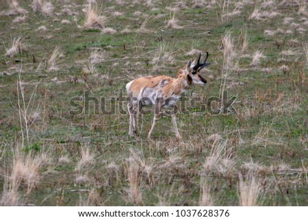 Pronghorn Antelope foraging for food in the green grasses of spring #1037628376
