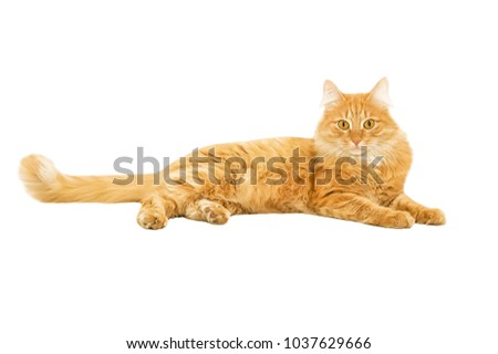 Young playful fluffy ginger cat isolated on a white background #1037629666