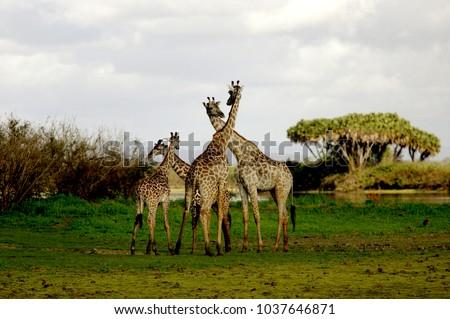 Giraffe in Ruaha National Park, Tanzania #1037646871