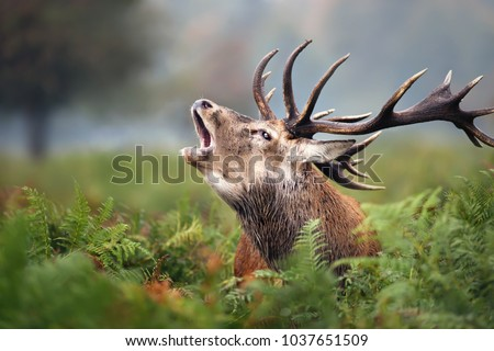 Close-up of a Red deer roaring during rut in autumn, UK #1037651509