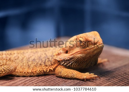 Great reptile - bearded dragon sitting on a wooden table and looking in the camera with vigilance. Best portrait of Bearded Dragon or Pogona reptile resting, posing on a wooden background.