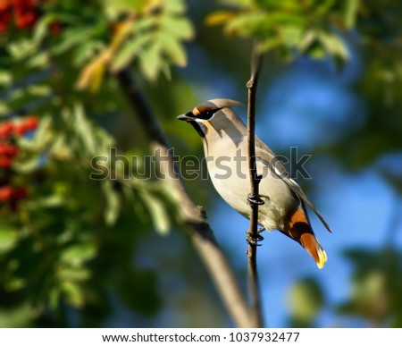 Wild Bohemian Waxwing (Bombycilla garrulus) in berry bush.    #1037932477