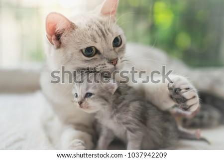 American shorthair cat hugging her kitten with love #1037942209