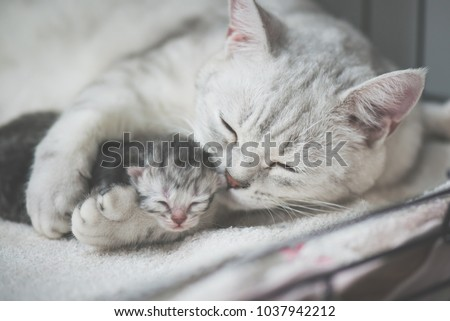 American shorthair cat kissing her kitten with love #1037942212