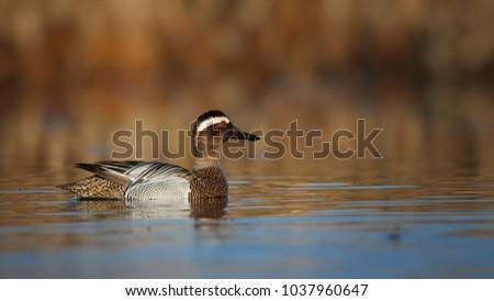 A Garganey Duck (Anas querquedula). #1037960647