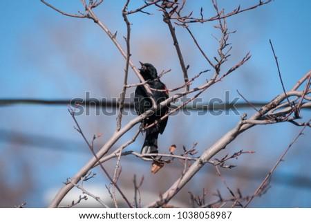 Squawking Redwing Blackbird #1038058987