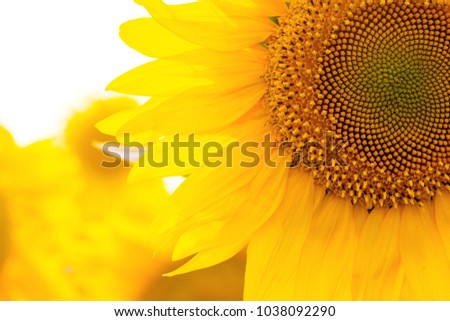 sunflowers at the field on the sunset #1038092290