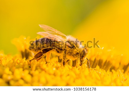 Honey bee covered with yellow pollen collecting nectar in flower. Animal is sitting collecting in sunny summer sunflower. Important for environment ecology sustainability. Awareness of climate change Royalty-Free Stock Photo #1038156178