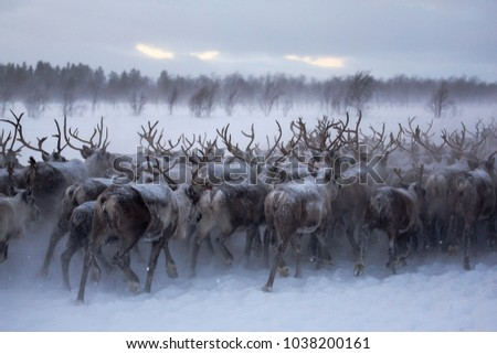 a herd of reindeers run through the snow in the tundra Royalty-Free Stock Photo #1038200161