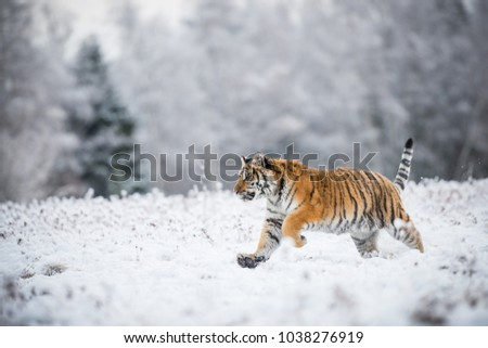 Young Siberian tiger running across snow fields #1038276919