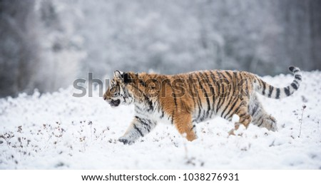 Young Siberian tiger walking in snow fields #1038276931
