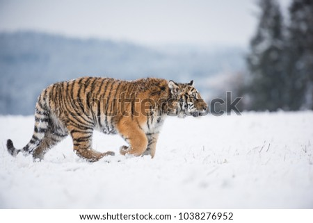 Young Siberian tiger walking in snow fields #1038276952