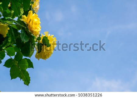 A beautiful yellow rose with green leafs in the morning over clear blue sky #1038351226