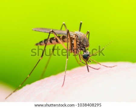 Yellow Fever, Malaria or Zika Virus Infected Mosquito Insect Macro on Green Background #1038408295