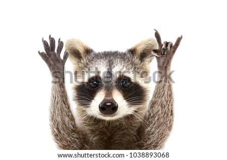 Portrait of a funny raccoon showing a rock gesture, isolated on white background #1038893068