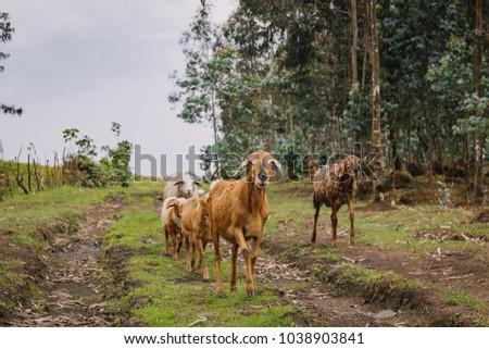 goats in Rwanda #1038903841