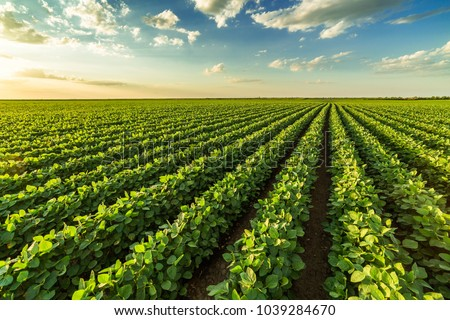 Green ripening soybean field, agricultural landscape Royalty-Free Stock Photo #1039284670