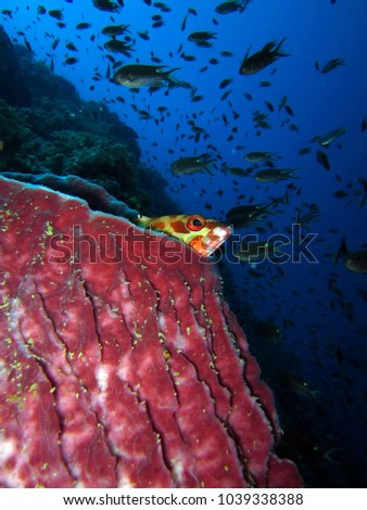 Black tip Grouper on hiding in the sea sponge  #1039338388