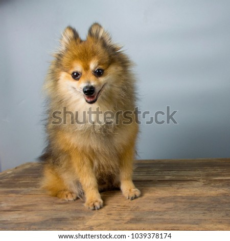 Pomeranian dogs are happy on a gray backdrop. #1039378174
