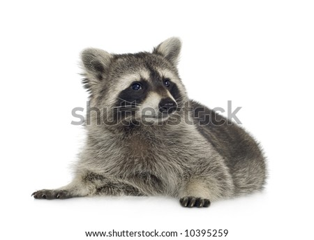 raccoon (9 months) - Procyon lotor in front of a white background #10395259