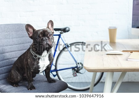 French bulldog sitting on chair by table in home office #1039647916