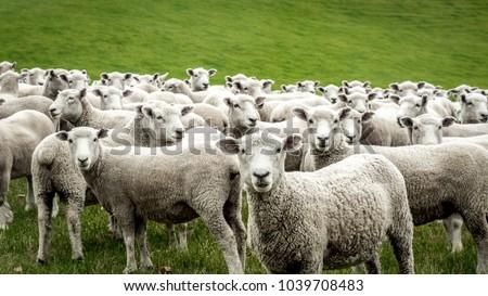 Flock of Staring Sheep #1039708483