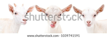 Portrait of a three funny white goat, isolated on white background #1039741591
