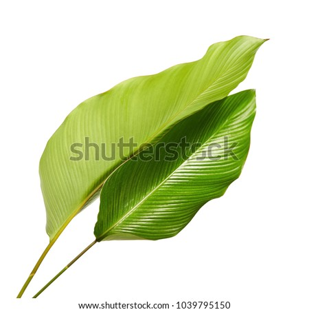 Calathea foliage, Exotic tropical leaf, Large green leaf, isolated on white background with clipping path #1039795150
