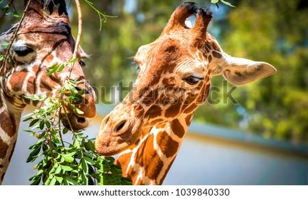 Giraffe eats leaves in zoo Royalty-Free Stock Photo #1039840330