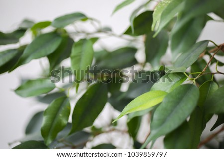 Green plant tree on the white background. Eco nature photo at home. Green leaves texture closeup and minimalism. #1039859797