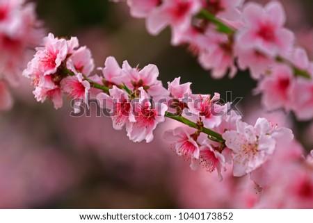 Beautiful peach blossom  #1040173852